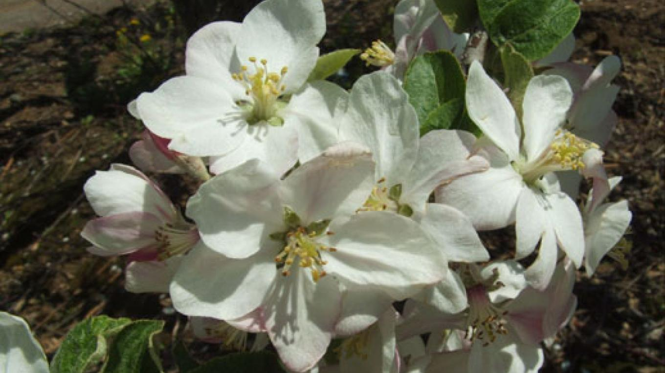 Apple Blossoms in the orchard – Candy