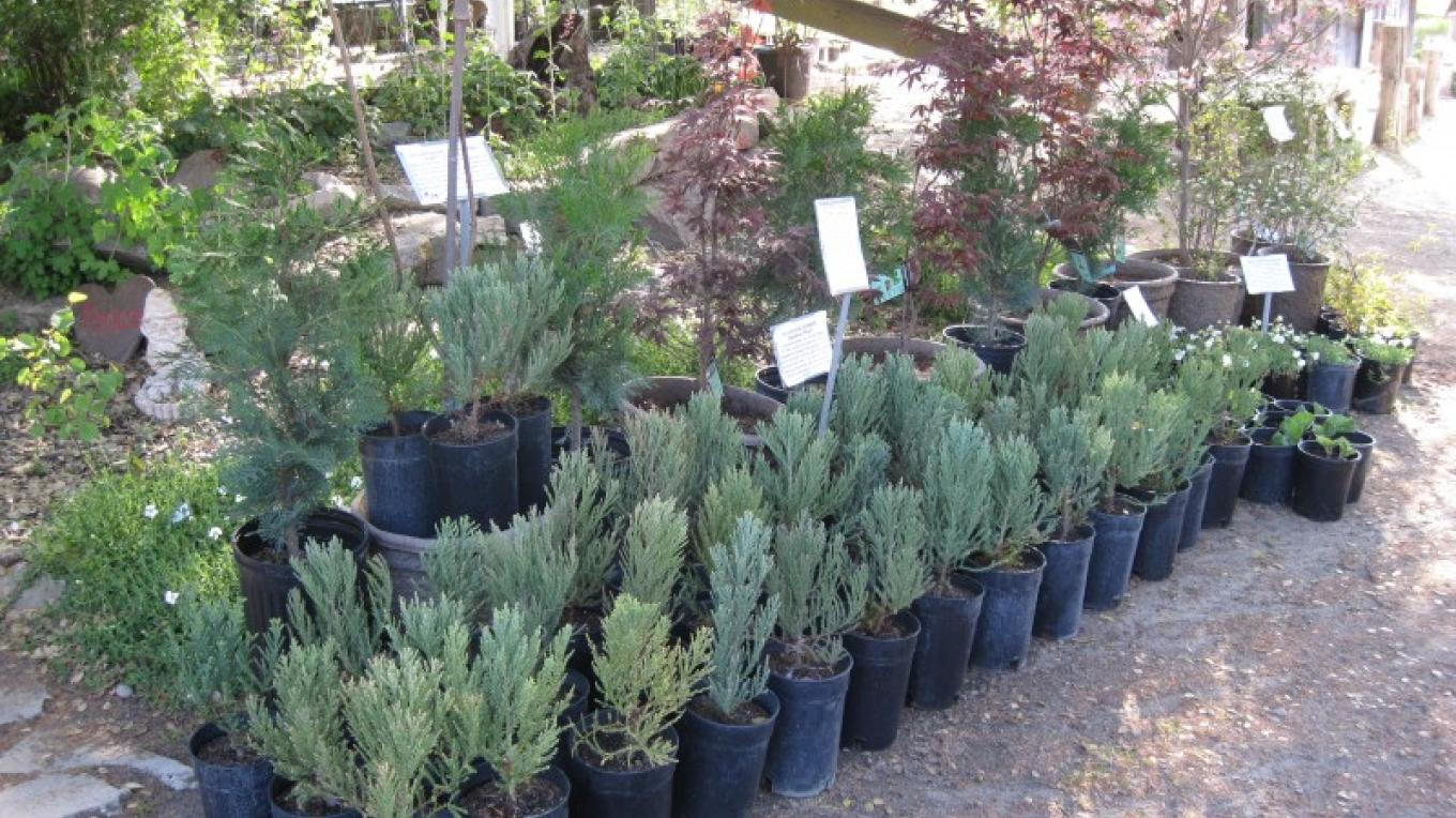 Giant Sequoia Trees for sale at Nursery – Bonnie Bladen