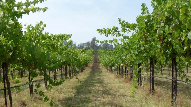 Classic Madera vineyard. – Madera Wine Trail