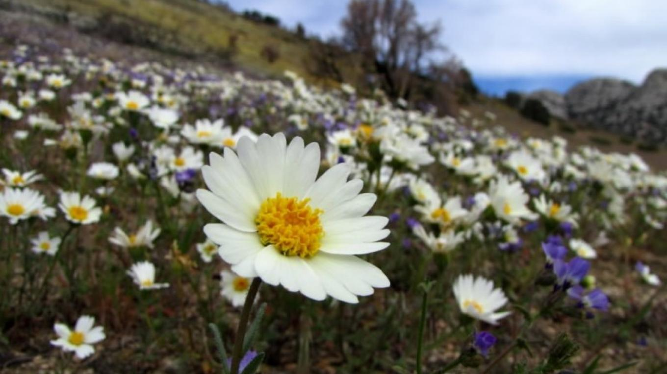 Tidy tips and other wildlfowers in Indian Wells Canyon – Shelley Ellis