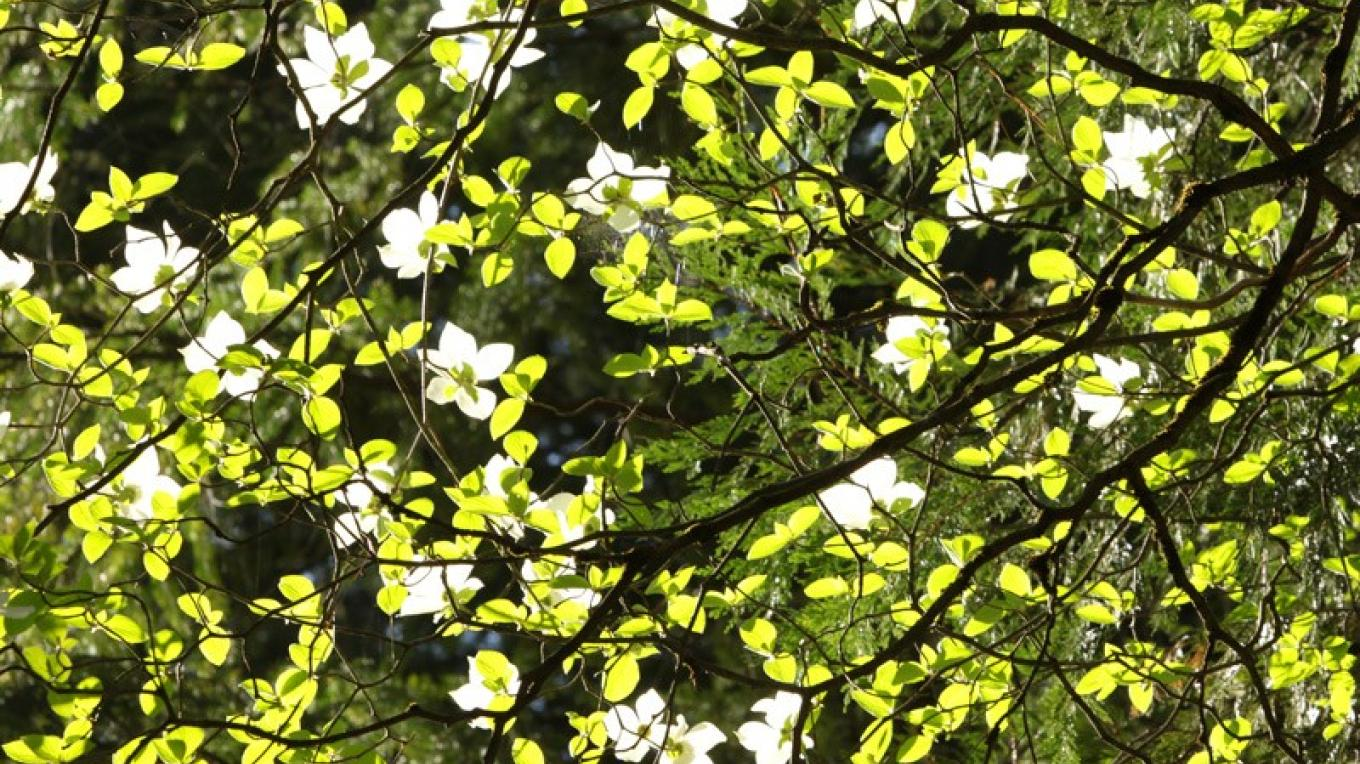 Dogwood in bloom – Ray Anderson