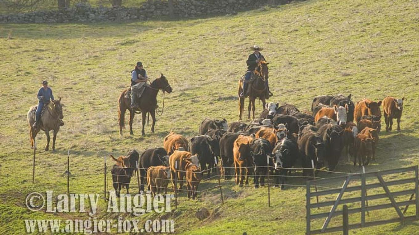 Spring roundup in Amador County. – Larry Angier
