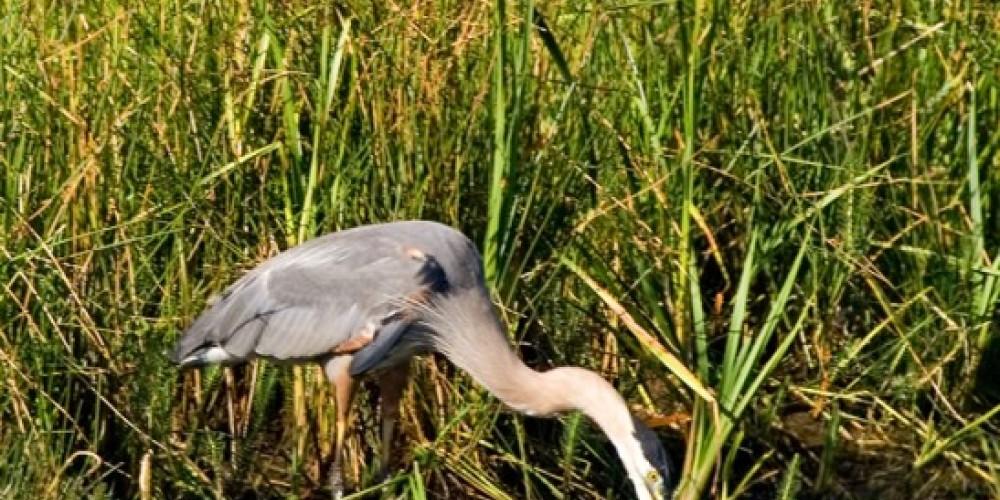 Great Blue Heron – Darby Hayes
