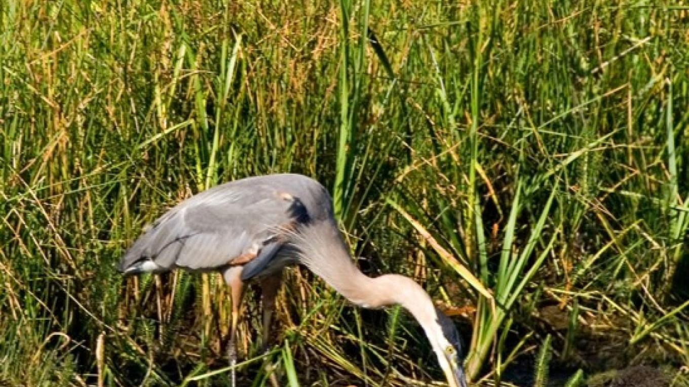 Great Blue Heron – Darby Hayes