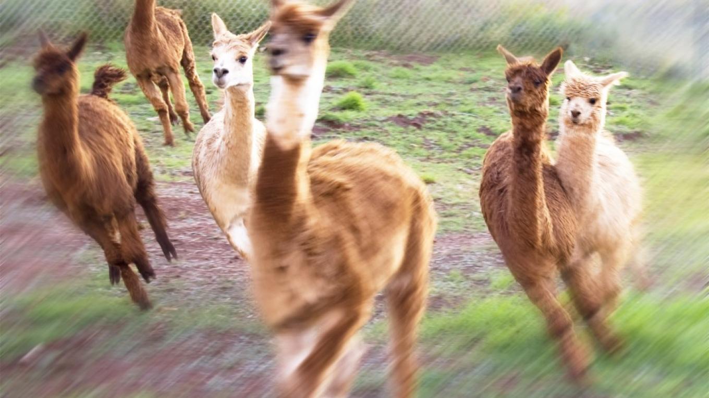 Running Alpacas – Caren Bryant