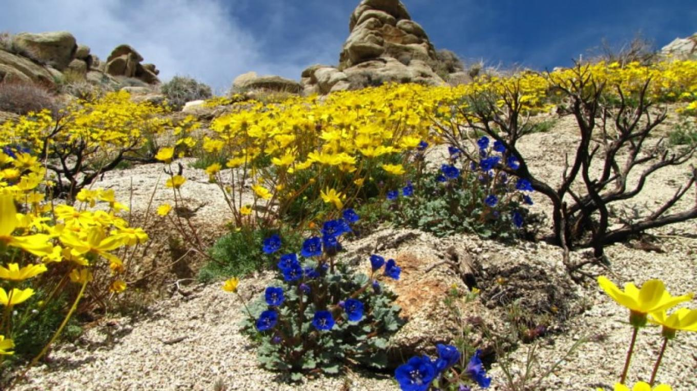 Charlotte's phacelia and coreopsis on slope in Indian Wells Canyon. – Shelley Ellis