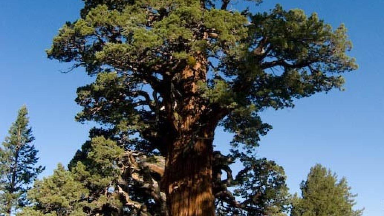 bennett juniper