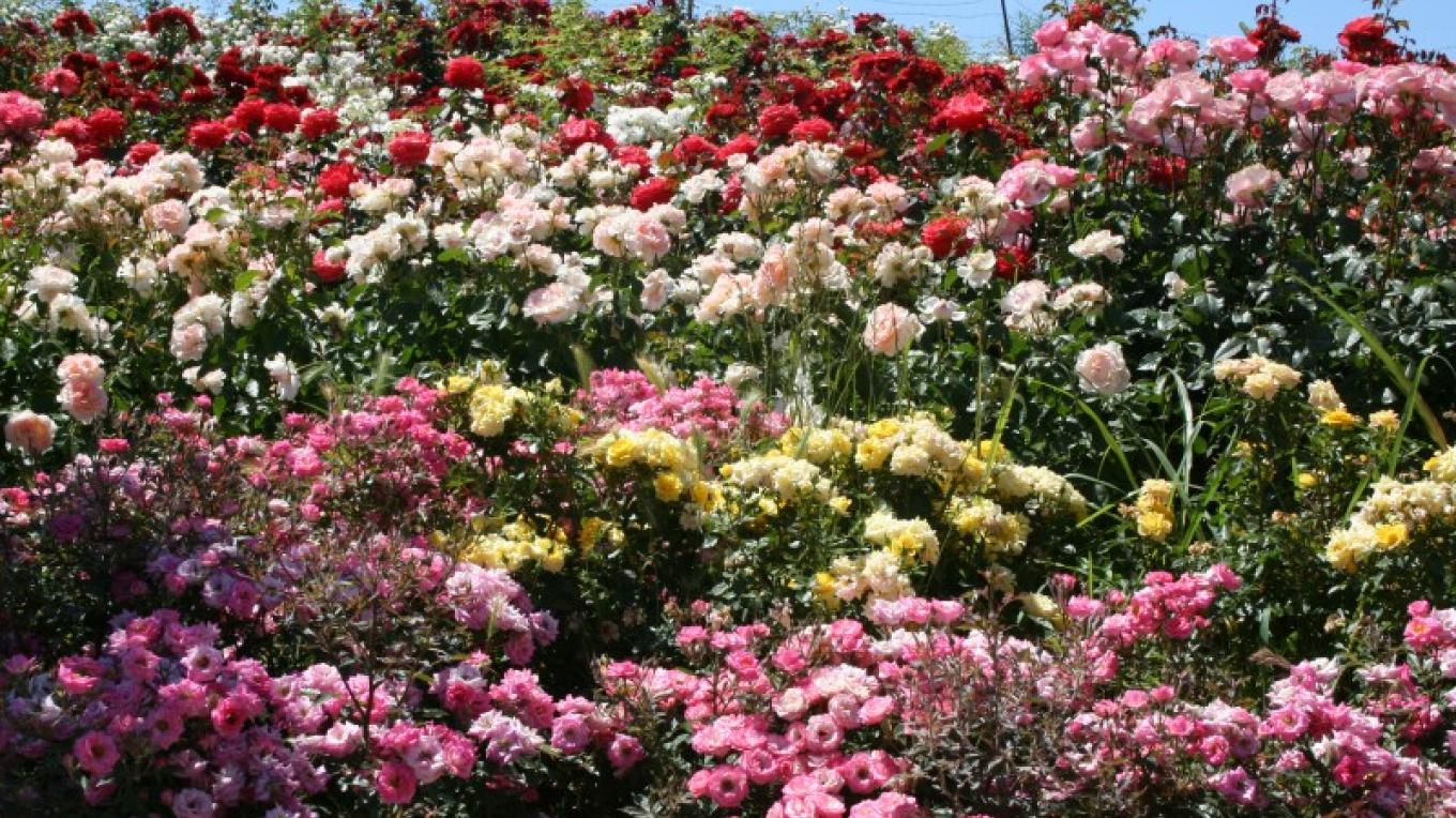The Rose Garden contains approximately 130 varieties and 1600 plants. – M. Jimenez