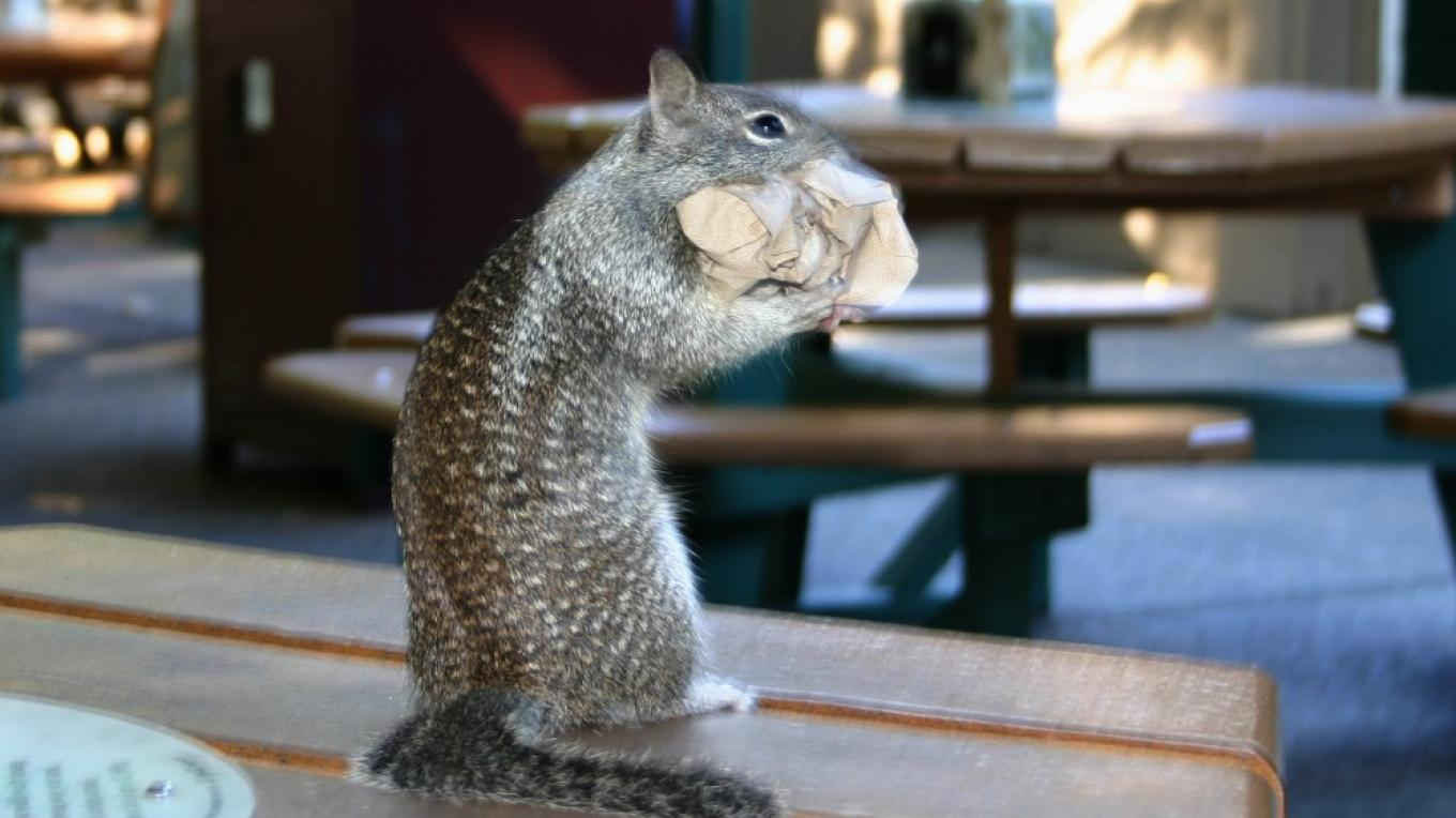 Local Yosemite Village critter on Photo Safari cleaning up after lunch – Pat Althizer