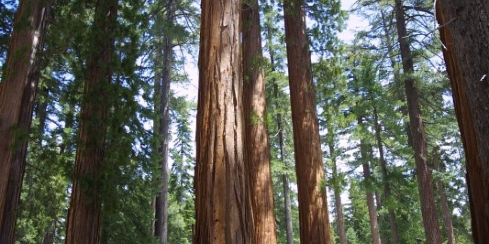 The awe inspiring Giant Sequoias in the Mariposa Grove of Big Trees.