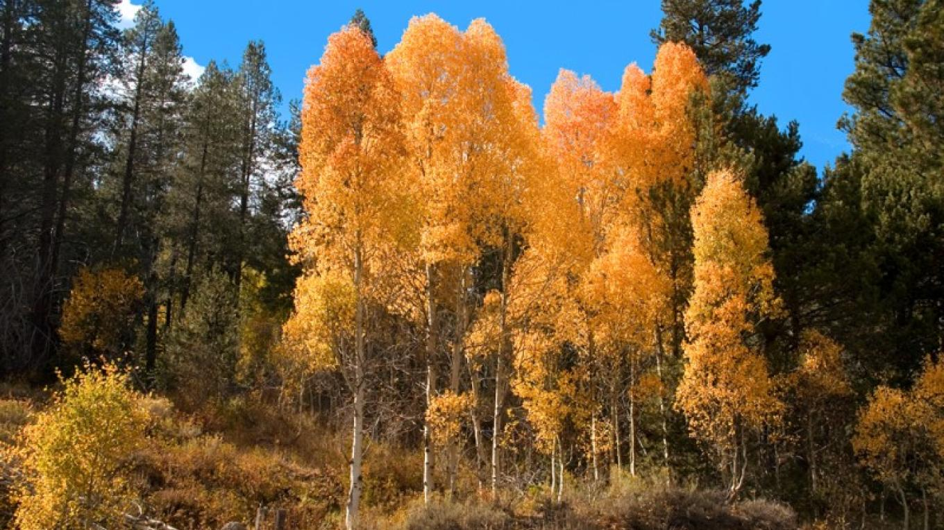 Aspens explode in color in the Fall along the edges of the Sierra Valley – Darby Hayes