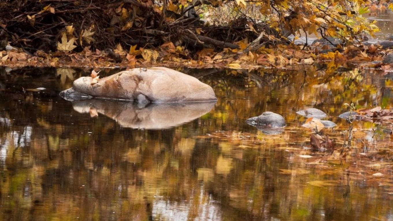Dry Creek and sycamores in fall. – John Greening
