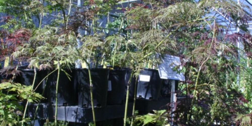 Japanese Maple trees at Peaceful Valley's nursery. – Stephanie Brown