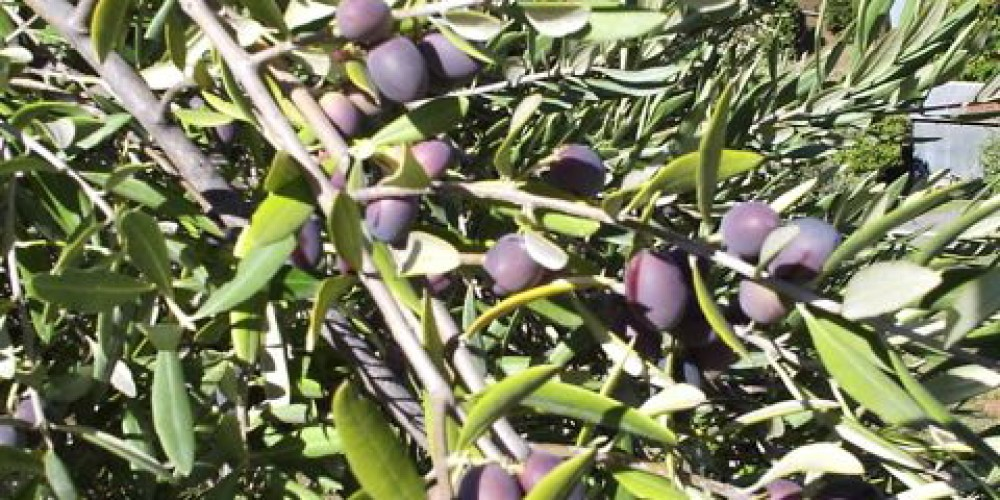 This lush fruit is ready for harvest. – Susan Bragstad