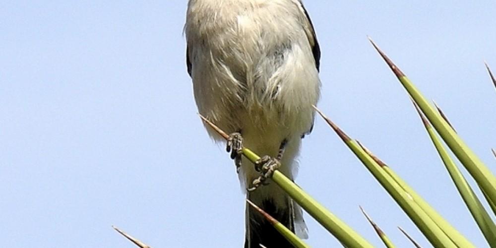 Loggerhead shrike on Joshua tree in Indian Wells – Shelley