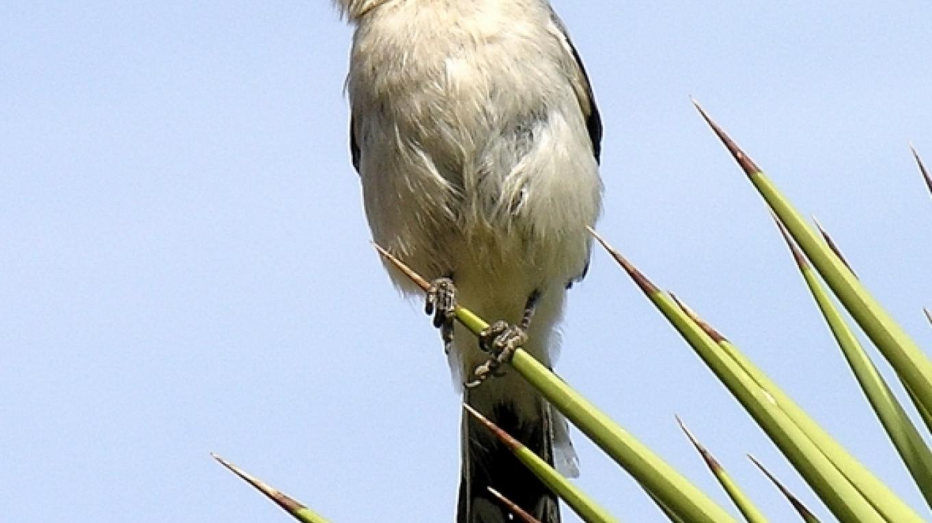 Loggerhead shrike on Joshua tree in Indian Wells – Shelley