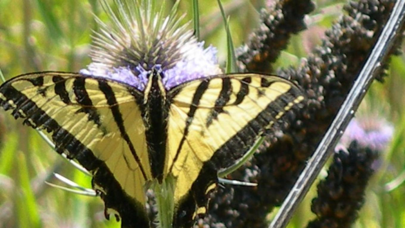 A butterfly at Ahjumawi Lava Springs State Park. – Ahjumawi Lava Springs State Park