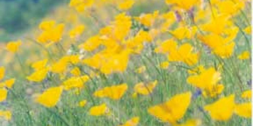 California poppies – American River Conservancy