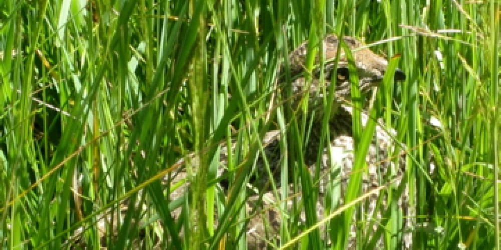 A grouse pauses in the grass. – Leah Duran