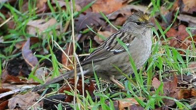 Golden Crowned Sparrow – Steve Ryan