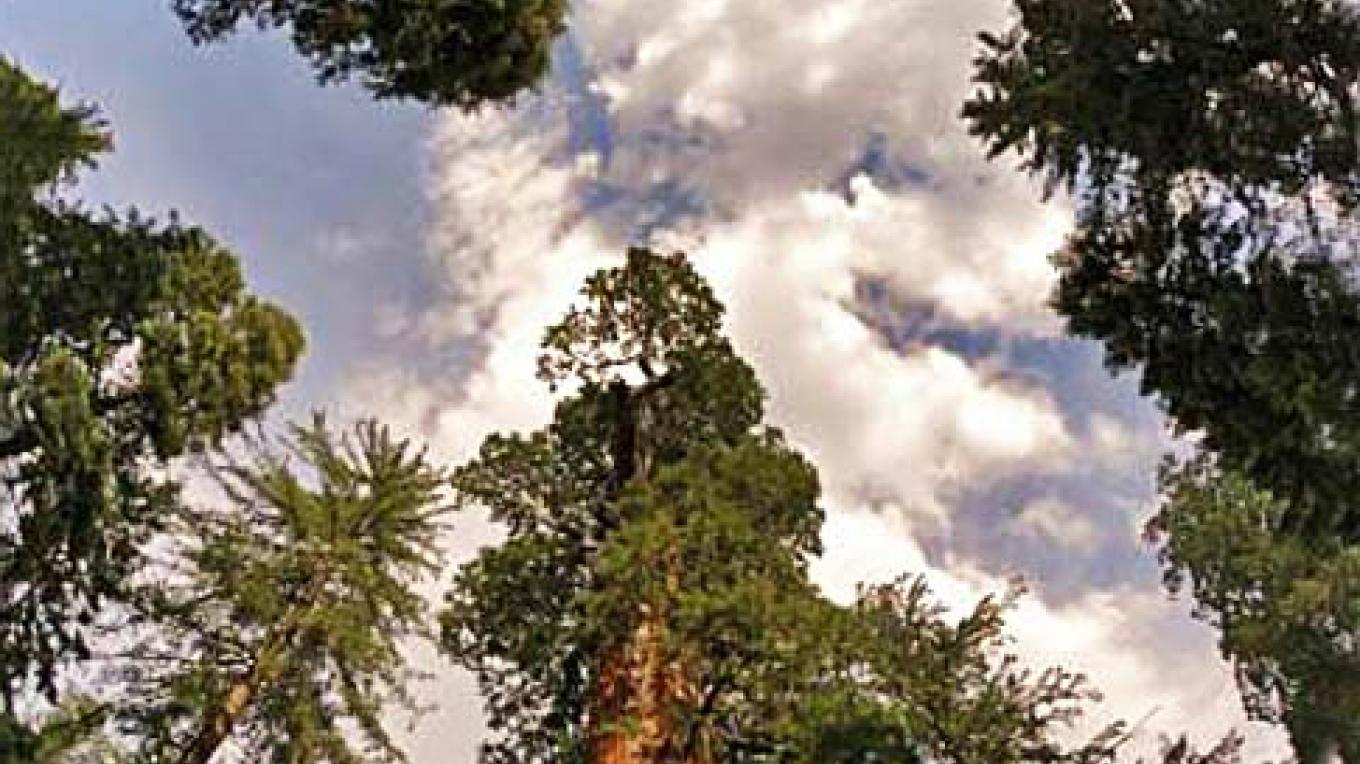 The General Grant Tree in Grant Grove is the second largest living giant sequoia. – NPS