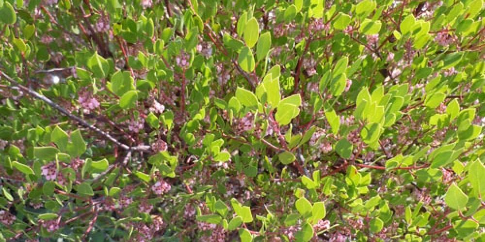 Manzanita growing in garden – Elsah Cort