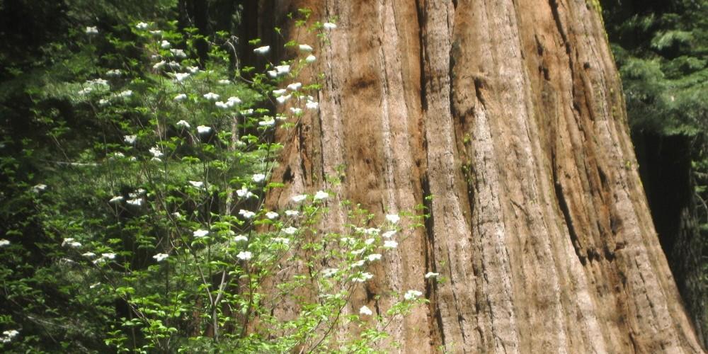 Photo of the Bull Buck Tree with blooming Dogwood. – Brenda Negley