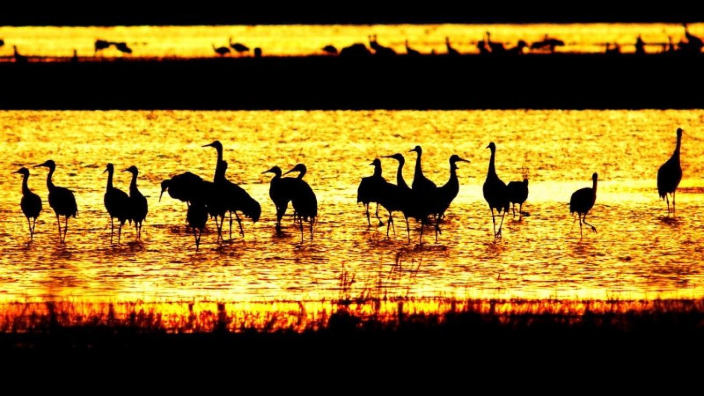 Sandhill Cranes at sunset – John Kimura