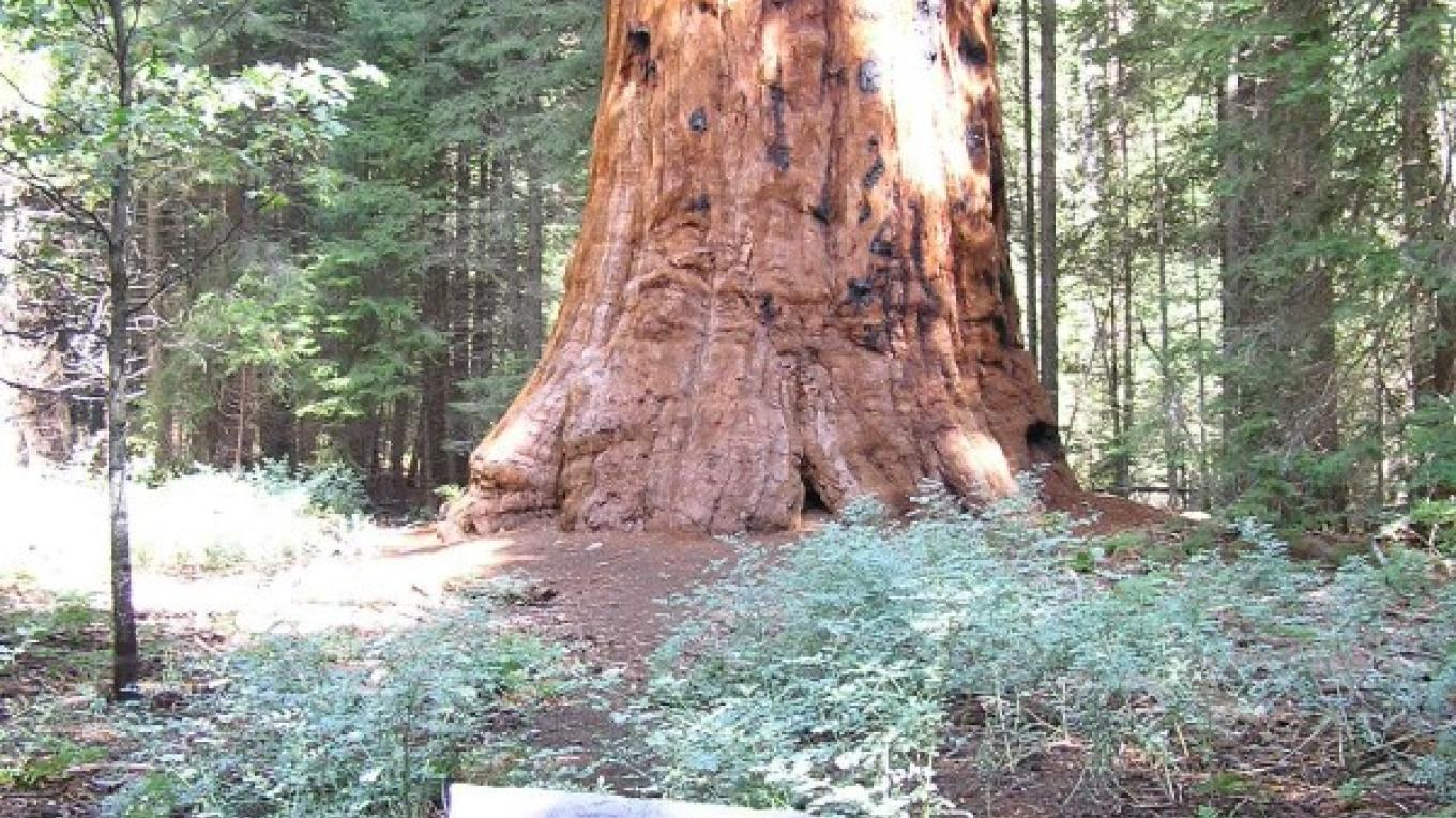 President George H.W. Bush Tree in the Freeman Creek Grove – U.S. Forest Service