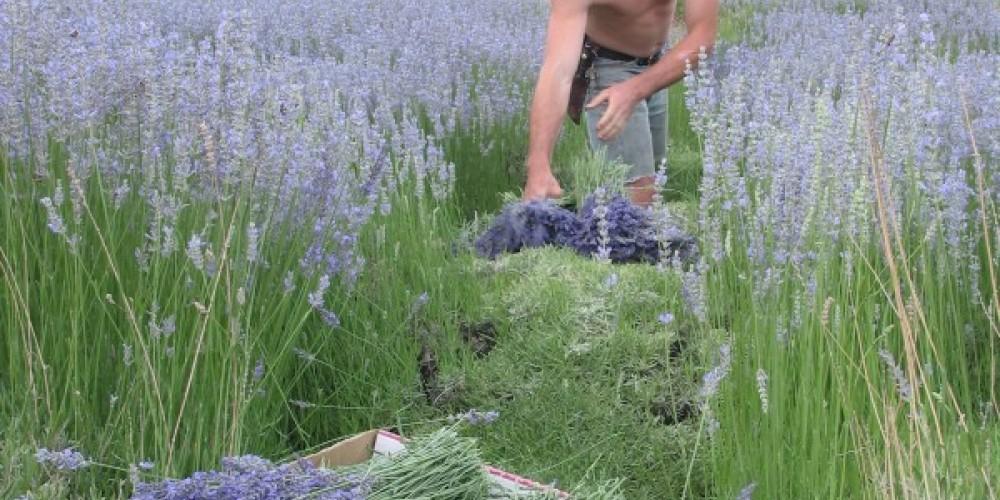 Organic Lavender Harvest U-Pick June-July – Julie Fought