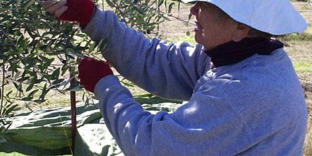 Harvesting is labor intensive. – Provided by Susan Bragstad