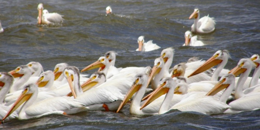 Picture of American White Pelicans near the Truckee River delta in Spring 2010. – Scott H. Carey
