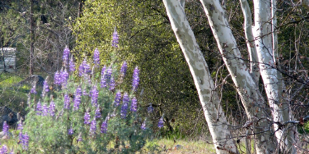 Native bush lupine and sycamore in early spring – Jana Botkin