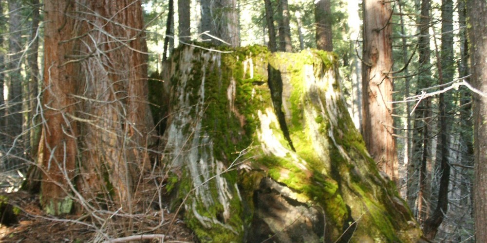One of the 277 mature sequoia stumps left from the logging. – Brenda Negley
