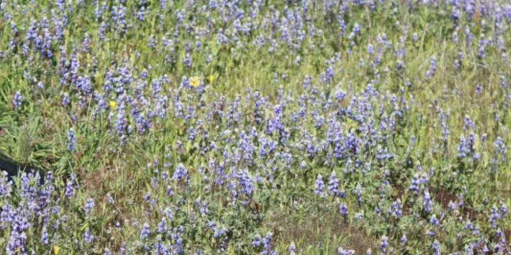 Blue Lupine on display at Birders Homestead Ranch during Dedication Day luncheon and wine tasting. – Ken Pulvino