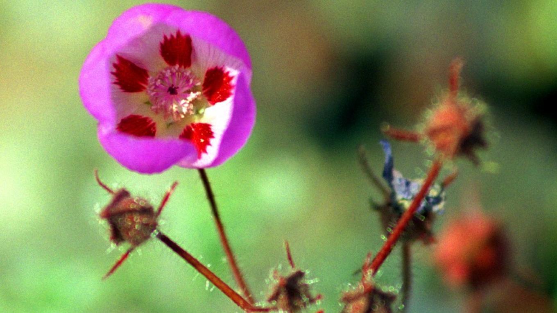 """Detail of """"Five Spot"""" desert wildflower – Paul Fretheim"""