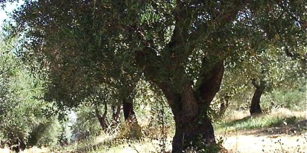 Some of her trees are 100 plus years old, planted by the old timers. – Susan Bragstad