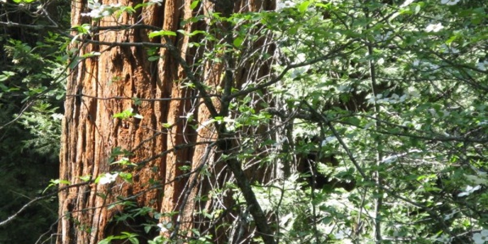 Nelder Grove Redwood & Dogwood – Joanne Freemire