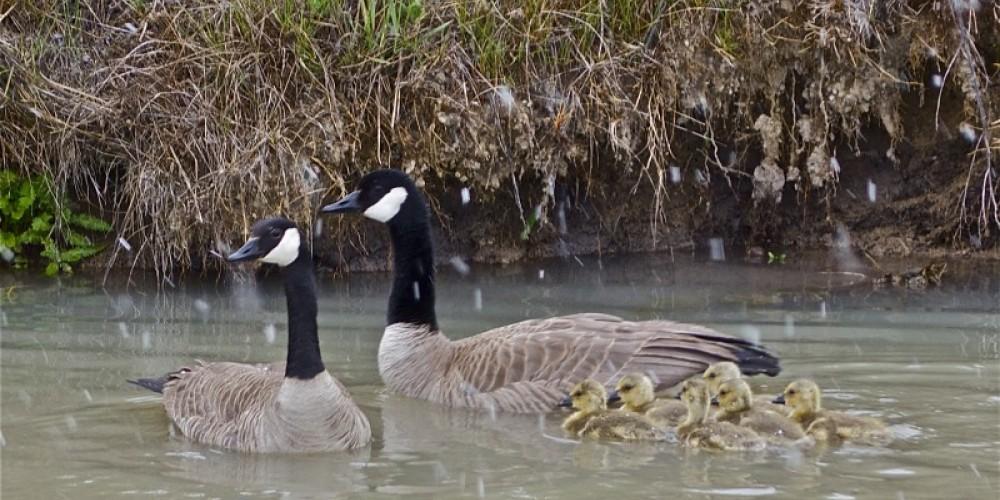 Canada Geese – John Kimura