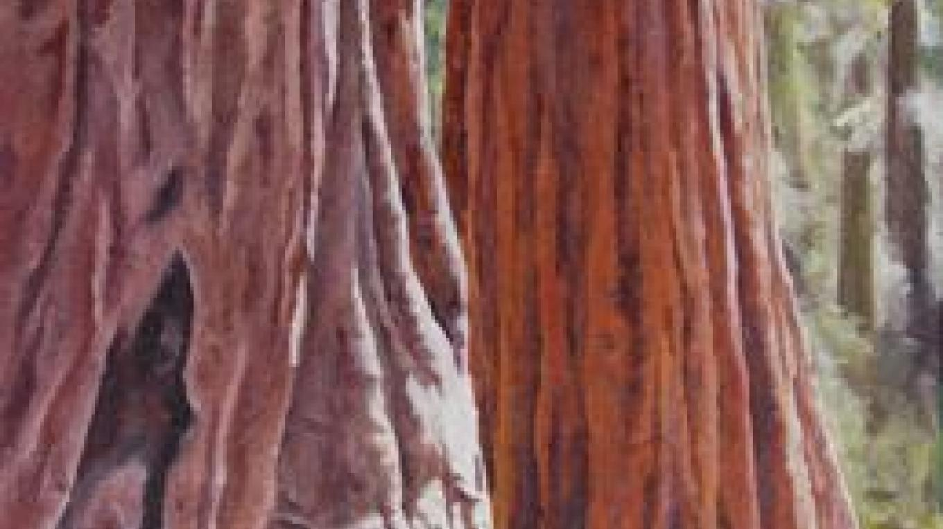 Giant Sequoias, oil painting