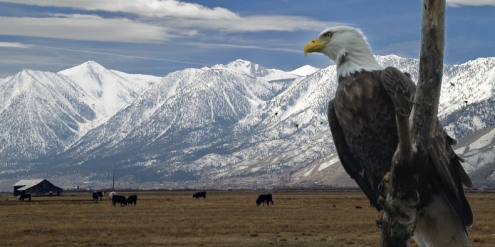 Eagle overlooking field of livestock in the Carson Valley. – Nevada Commission on Tourism
