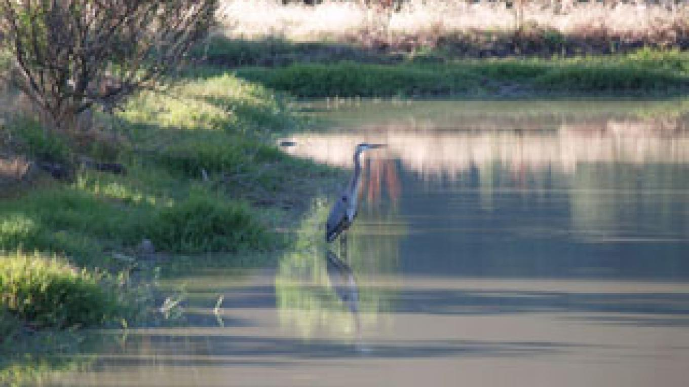Great Blue Heron, Catfish Farm, Three Rivers, 2008 – Shirley A. Blair Keller
