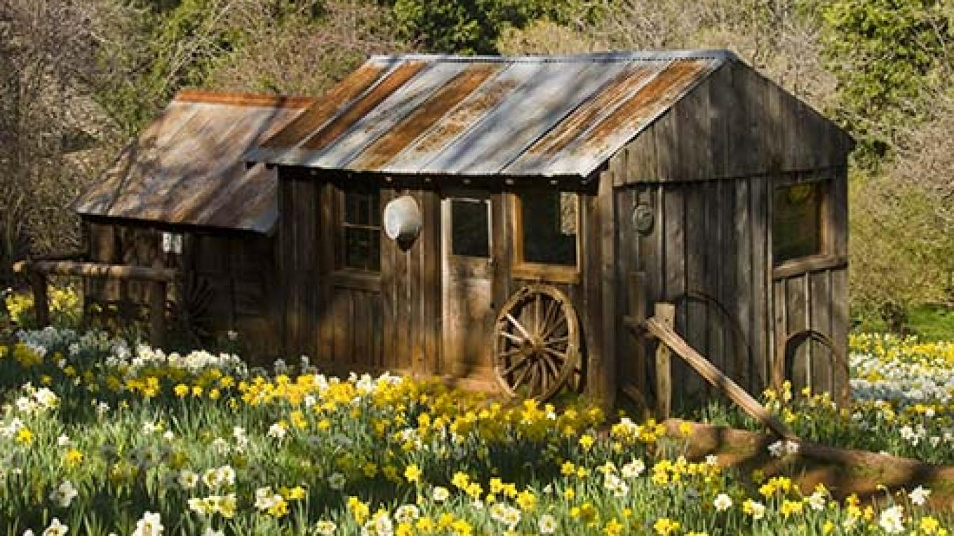 Volcano's Daffodil Hill at it spring best, Amador County. – Carolyn Fox