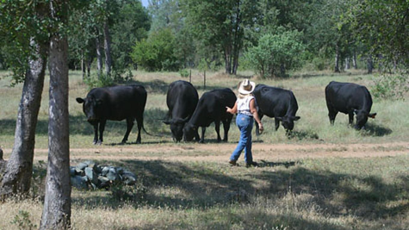 Jenny with organically raised herd in Oregon House, California. – Anne Chadwick