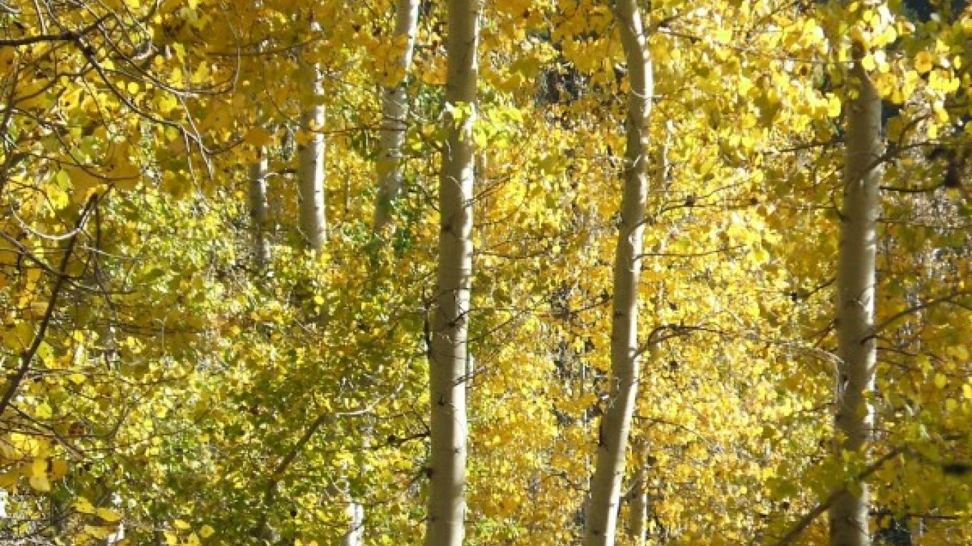 Golden aspens signal that autumn has arrived in the Mineral King area of Sequoia National Park. – The Kaweah Commonwealth