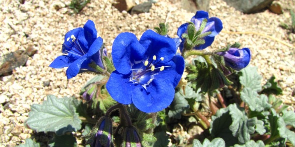 Charlottes phacelia, a rare plant found in Indian Wells Canyon. – Shelley Ellis