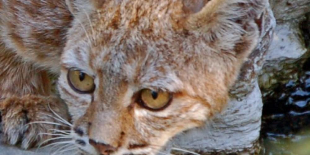 Bobcat, Three Rivers, California – Tom Marshall