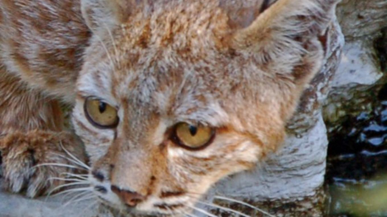 Bobcat, Three Rivers, California – Tom Marshall