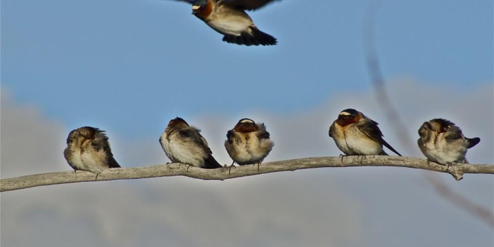 Swallows – John Kimura