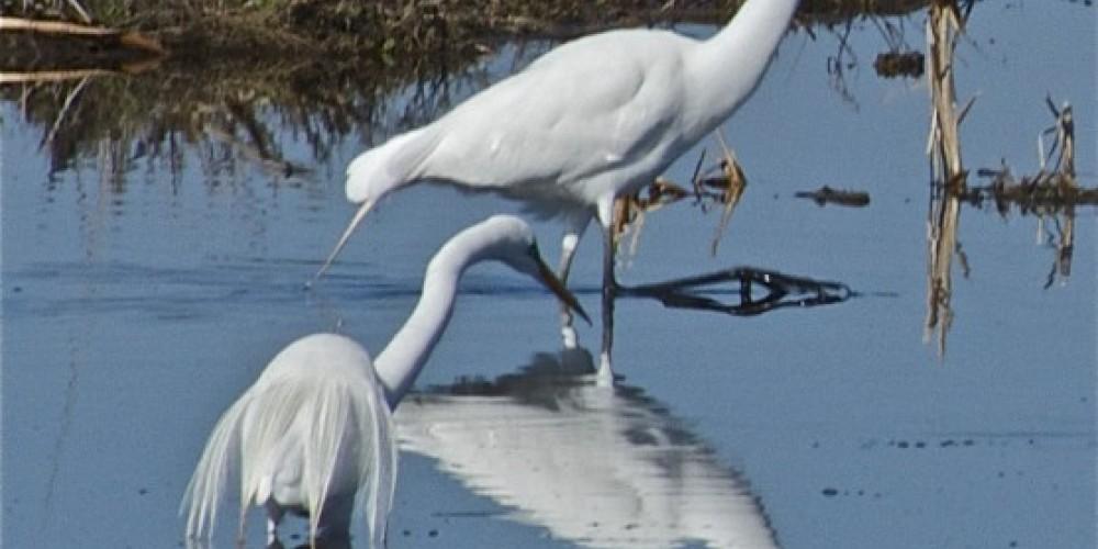 Snowy Egret – John Kimura